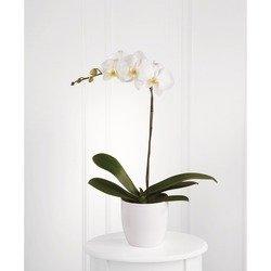 Maceta de Orquídea Blanca