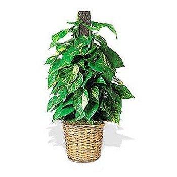 Planta Hiedra con Poste