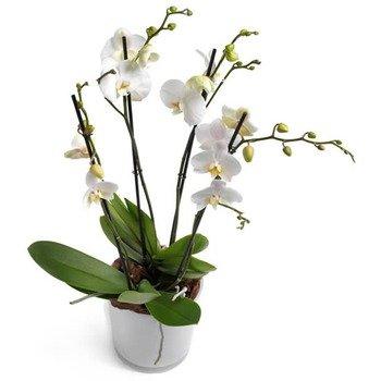 Orquídea Phalaenopsis Blanco Lechoso