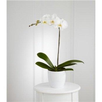 Orquídea Blanca en Tiesto